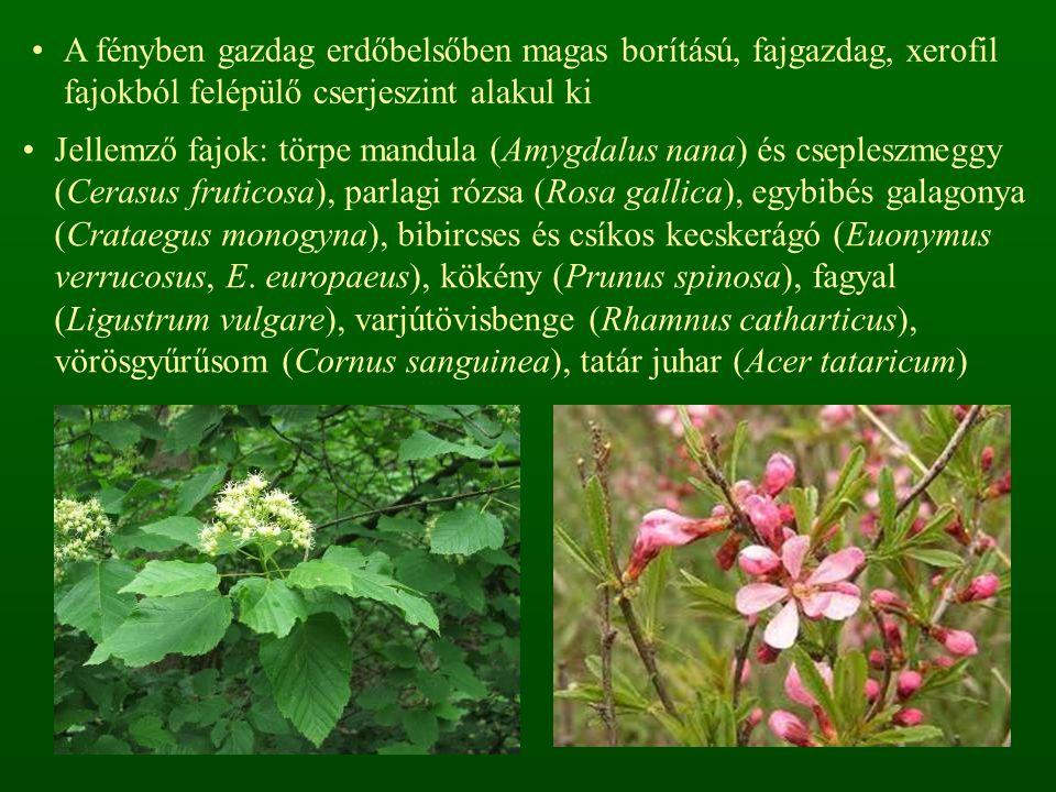 A fényben gazdag erdőbelsőben magas borítású, fajgazdag, xerofil fajokból felépülő cserjeszint alakul ki Jellemző fajok: törpe mandula (Amygdalus nana) és csepleszmeggy (Cerasus fruticosa), parlagi rózsa (Rosa gallica), egybibés galagonya (Crataegus monogyna), bibircses és csíkos kecskerágó (Euonymus verrucosus, E.