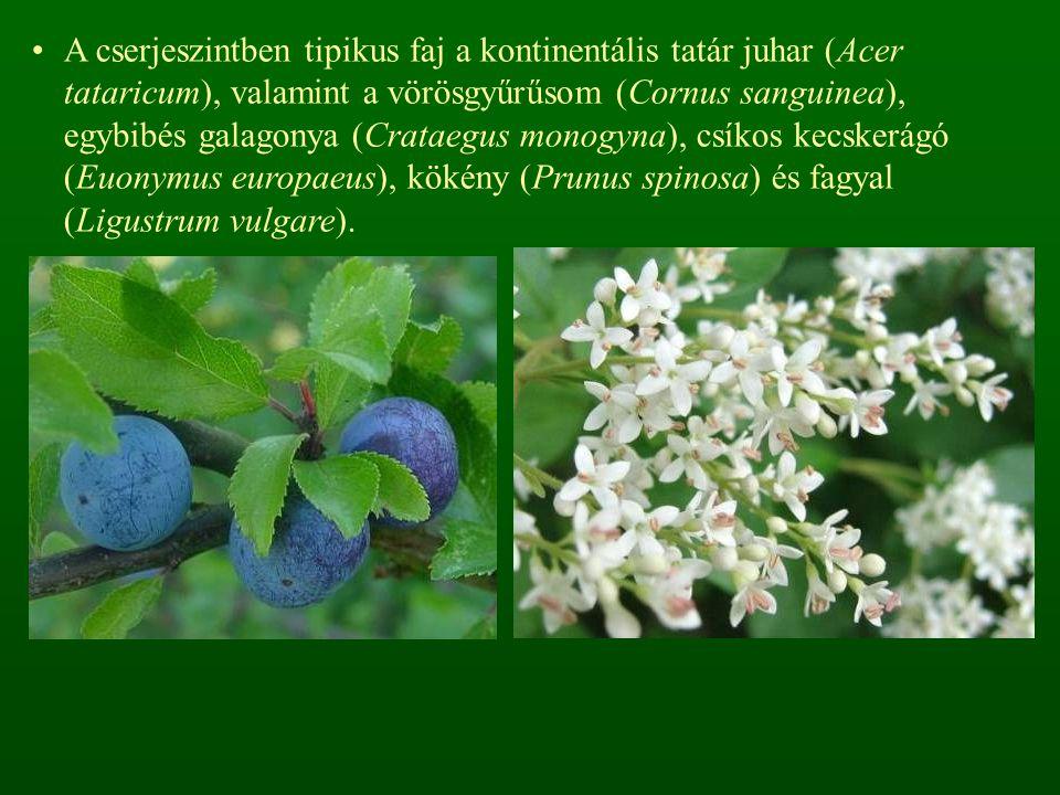 A cserjeszintben tipikus faj a kontinentális tatár juhar (Acer tataricum), valamint a vörösgyűrűsom (Cornus sanguinea), egybibés galagonya (Crataegus monogyna), csíkos kecskerágó (Euonymus europaeus), kökény (Prunus spinosa) és fagyal (Ligustrum vulgare).
