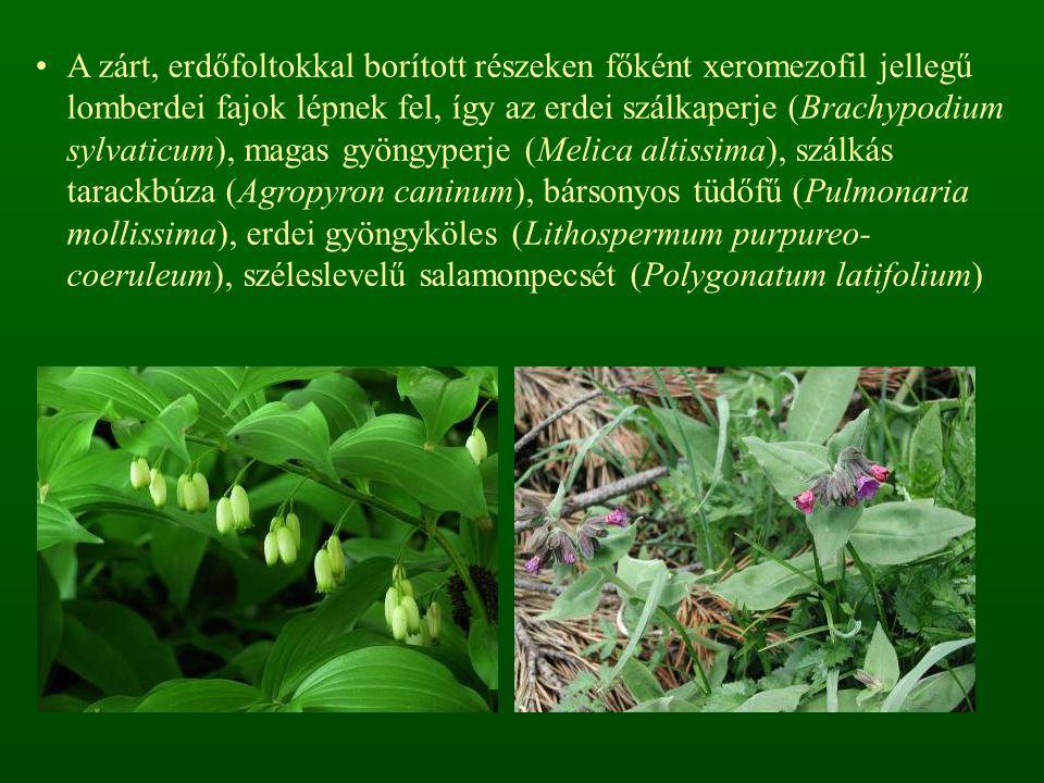 A zárt, erdőfoltokkal borított részeken főként xeromezofil jellegű lomberdei fajok lépnek fel, így az erdei szálkaperje (Brachypodium sylvaticum), magas gyöngyperje (Melica altissima), szálkás tarackbúza (Agropyron caninum), bársonyos tüdőfű (Pulmonaria mollissima), erdei gyöngyköles (Lithospermum purpureo- coeruleum), széleslevelű salamonpecsét (Polygonatum latifolium)