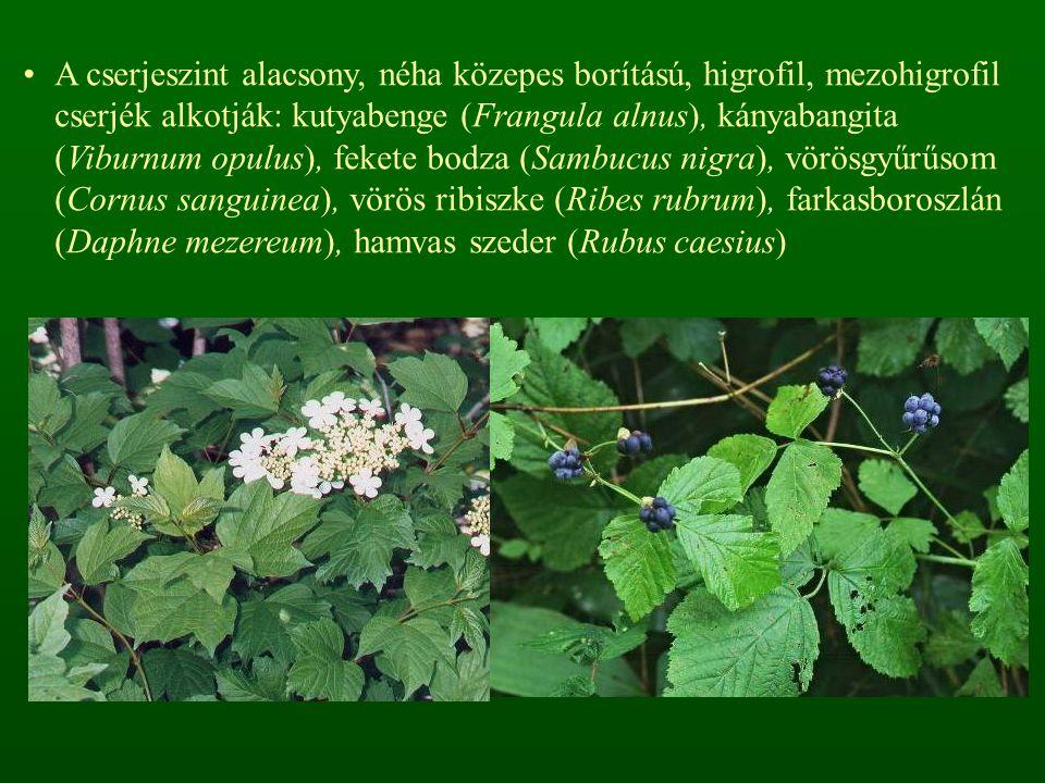 A nyílt változat erdőfoltjaira, árnyasabb állományrészeire és a zárt változatra a következő fajok jellemzők: erdei szálkaperje (Brachypodium sylvaticum), ligeti perje (Poa nemoralis), szálkás tarackbúza (Agropyron caninum), gyöngyvirág (Convallaria majalis), széleslevelű és soktérdű salamonpecsét (Polygonatum latifolium, P.
