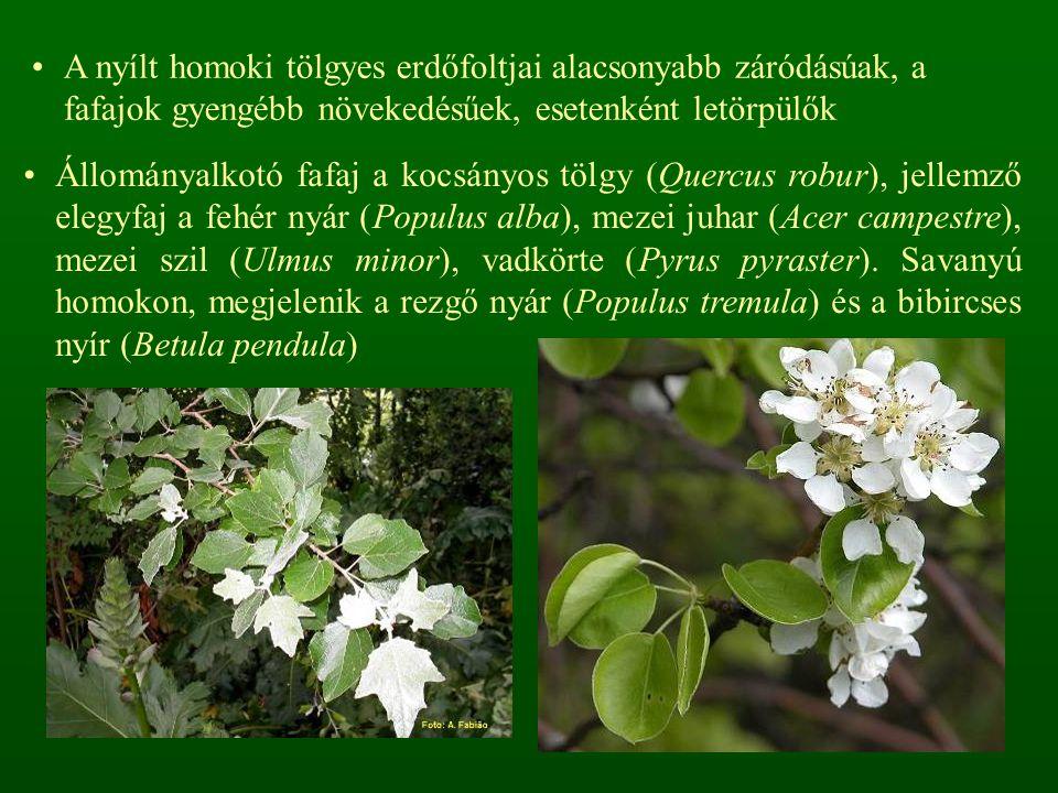 A nyílt homoki tölgyes erdőfoltjai alacsonyabb záródásúak, a fafajok gyengébb növekedésűek, esetenként letörpülők Állományalkotó fafaj a kocsányos tölgy (Quercus robur), jellemző elegyfaj a fehér nyár (Populus alba), mezei juhar (Acer campestre), mezei szil (Ulmus minor), vadkörte (Pyrus pyraster).