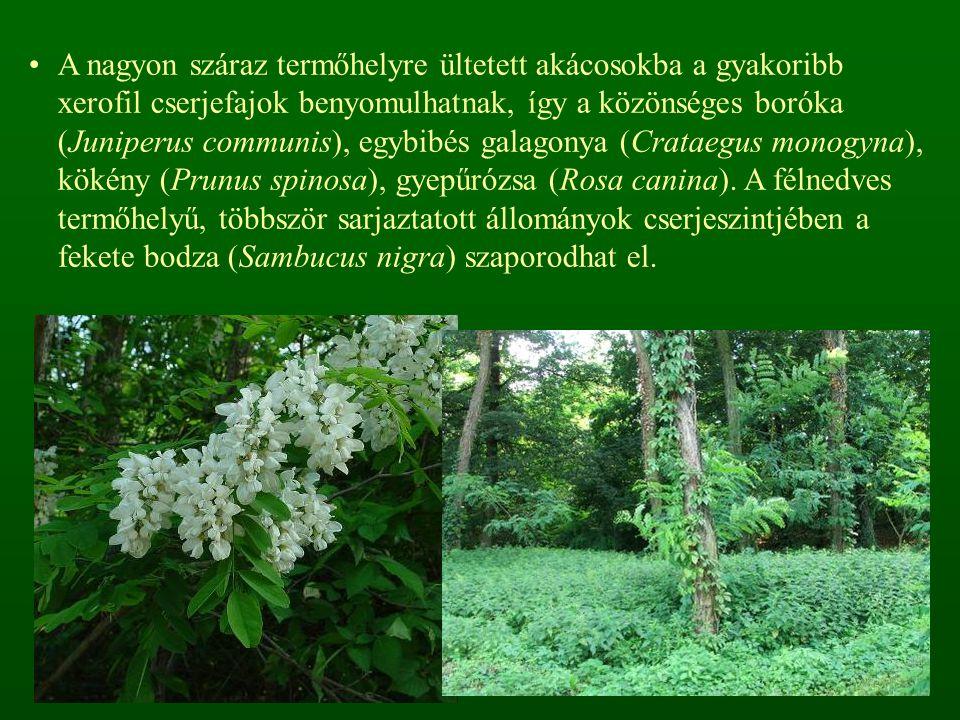 A nagyon száraz termőhelyre ültetett akácosokba a gyakoribb xerofil cserjefajok benyomulhatnak, így a közönséges boróka (Juniperus communis), egybibés galagonya (Crataegus monogyna), kökény (Prunus spinosa), gyepűrózsa (Rosa canina).