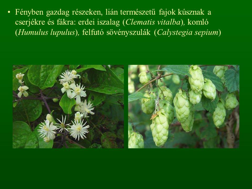 A mohaszint hiányzik vagy változó borítású, bizonyos típusokban a tőzegmohák (Sphagnum spp.) jelentenek különleges értéket.