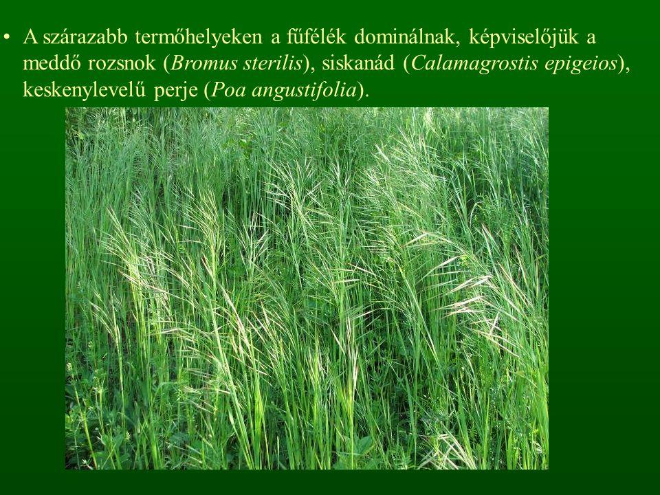 A szárazabb termőhelyeken a fűfélék dominálnak, képviselőjük a meddő rozsnok (Bromus sterilis), siskanád (Calamagrostis epigeios), keskenylevelű perje (Poa angustifolia).