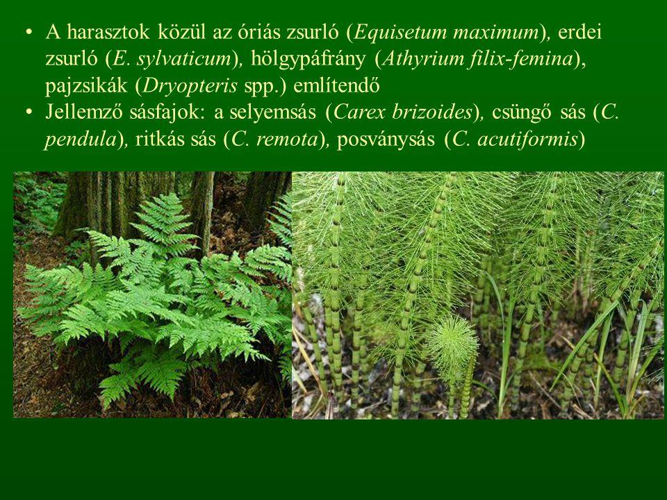 magas borítású gyepszintben a magaskórósok dominálnak: nagycsalán (Urtica dioica), farkasalma (Aristolochia clematitis), subás farkasfog (Bidens tripartita), sédkender (Eupatorium cannabinum), magas aranyvessző (Solidago gigantea), egynyári seprence (Stenactis annua), bíbor nebáncsvirág (Impatiens glandulifera), kisvirágú nebáncsvirág (I.