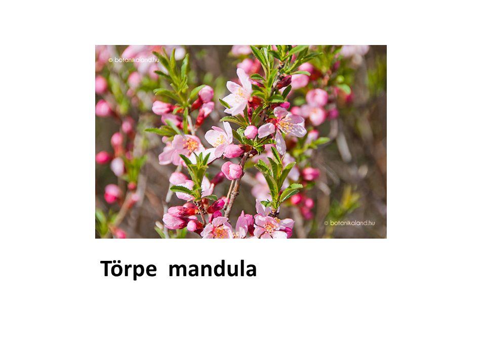 Törpe mandula