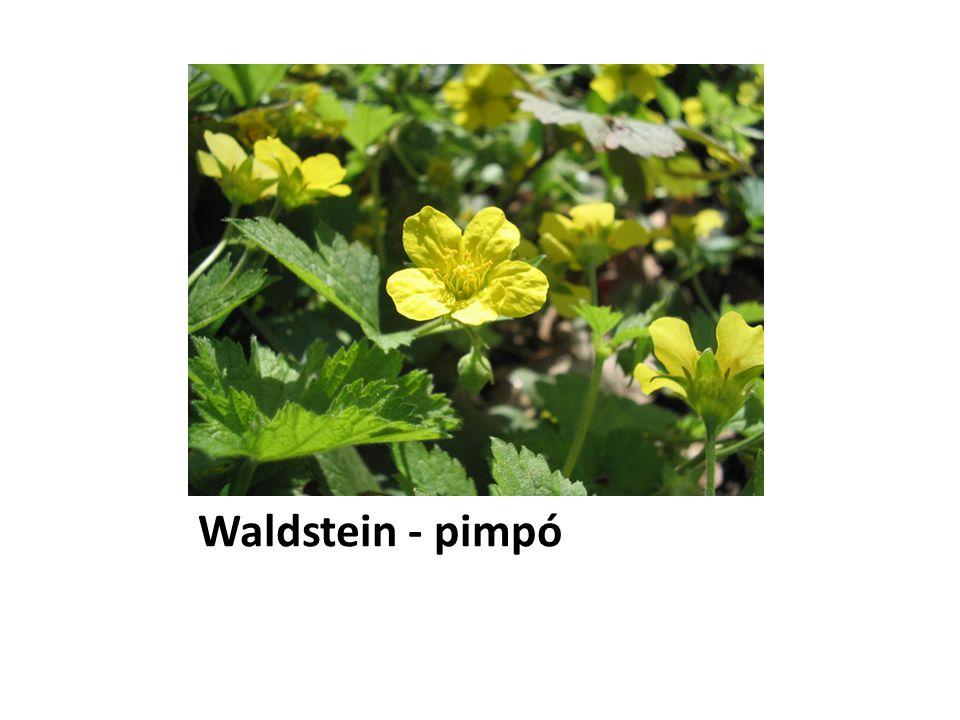 Waldstein - pimpó