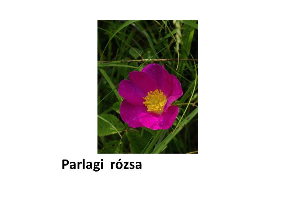 Parlagi rózsa