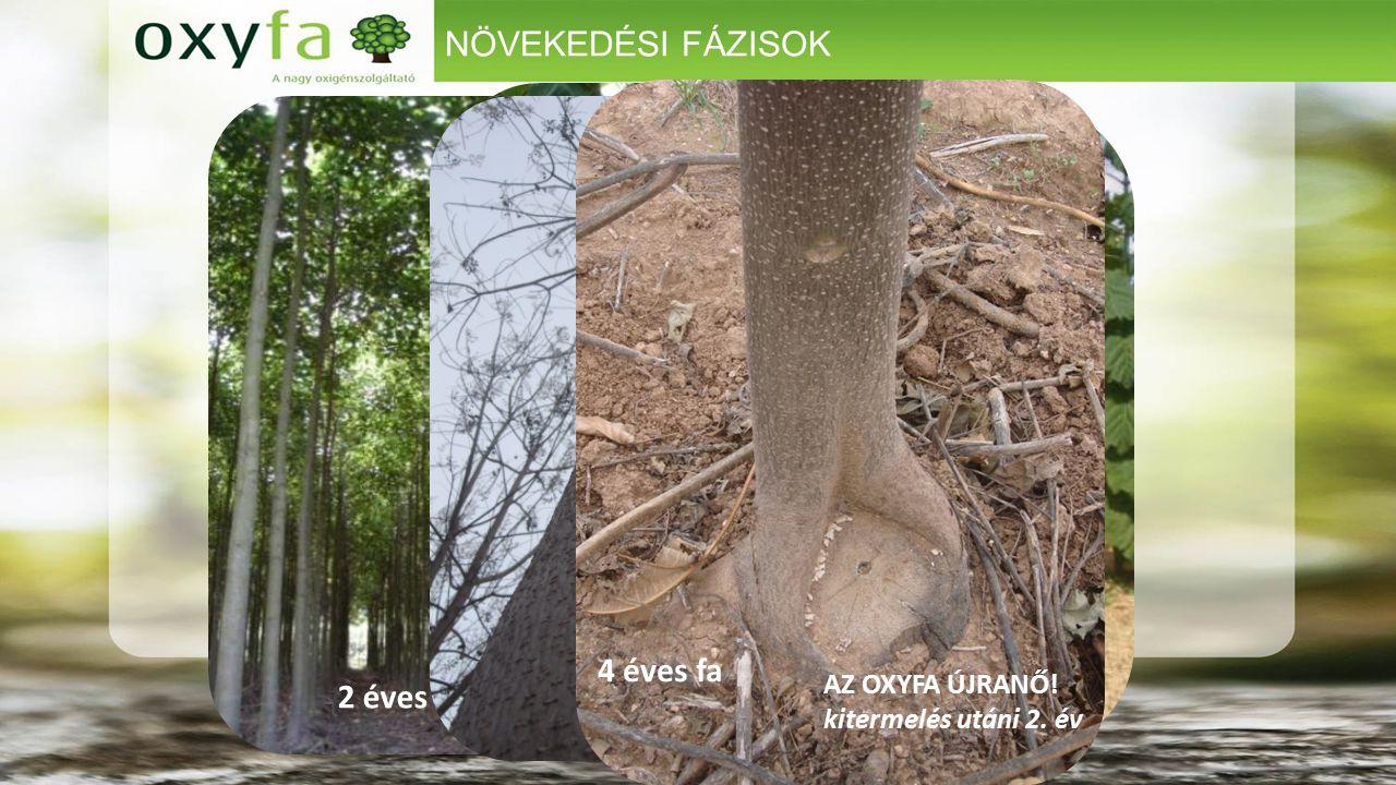 4 HÓNAPOS OXYFÁK (visszavágás előtt). 1 éves erdő NÖVEKEDÉSI FÁZISOK 2 éves erdő AZ OXYFA ÚJRANŐ! kitermelés utáni 2. év 4 éves fa