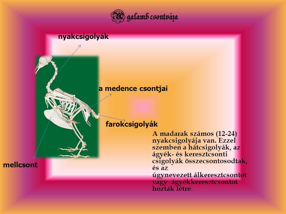 A galamb csontváza A madarak számos (12-24) nyakcsigolyája van. Ezzel szemben a hátcsigolyák, az ágyék- és keresztcsonti csigolyák összecsontosodtak,