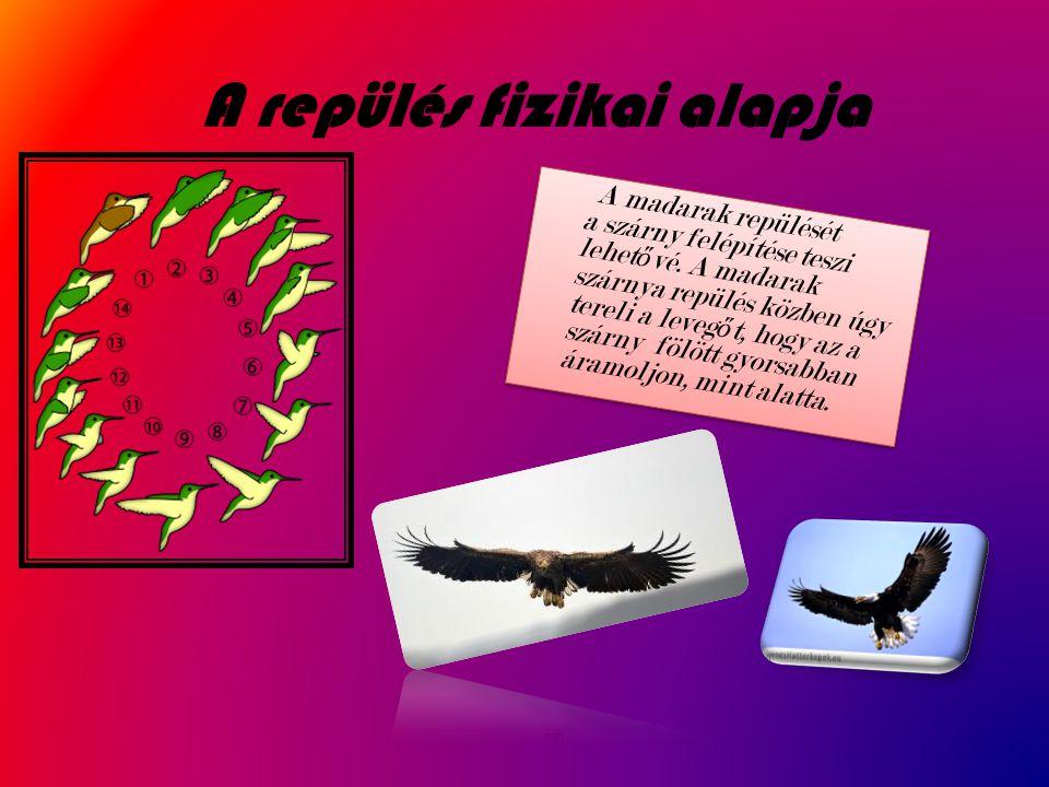 A repülés fizikai alapja A madarak repülését a szárny felépítése teszi lehet ő vé. A madarak szárnya repülés közben úgy tereli a leveg ő t, hogy az a