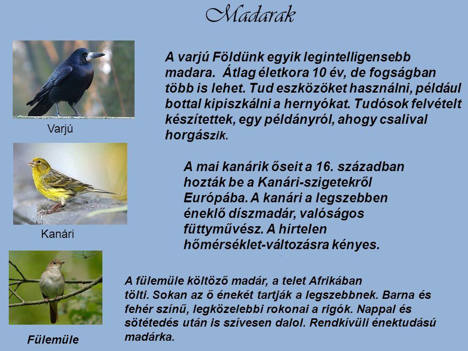 Madarak A varjú Földünk egyik legintelligensebb madara. Átlag életkora 10 év, de fogságban több is lehet. Tud eszközöket használni, például bottal kip