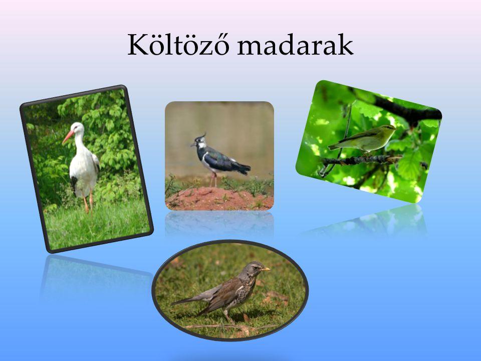 Fehér gólya A fehér gólya a gólyaalakúak rendjébe, ezen belül a gólyafélék, családjáb a tartozó faj.