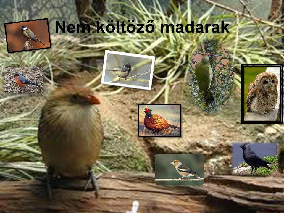 Nem költöző madarak