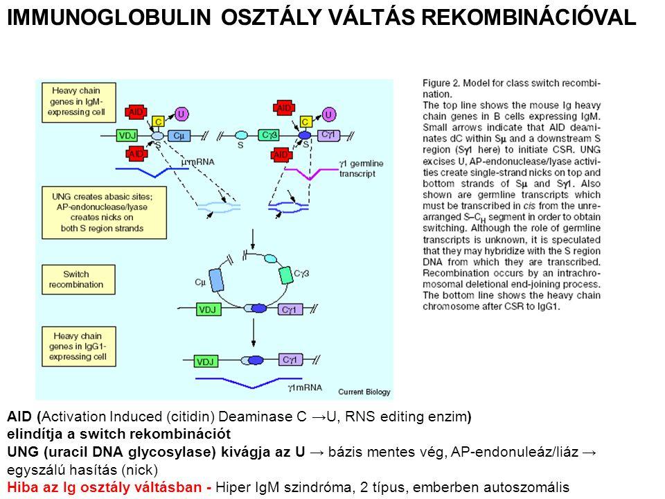IMMUNOGLOBULIN OSZTÁLY VÁLTÁS REKOMBINÁCIÓVAL AID (Activation Induced (citidin) Deaminase C →U, RNS editing enzim) elindítja a switch rekombinációt UNG (uracil DNA glycosylase) kivágja az U → bázis mentes vég, AP-endonuleáz/liáz → egyszálú hasítás (nick) Hiba az Ig osztály váltásban - Hiper IgM szindróma, 2 típus, emberben autoszomális