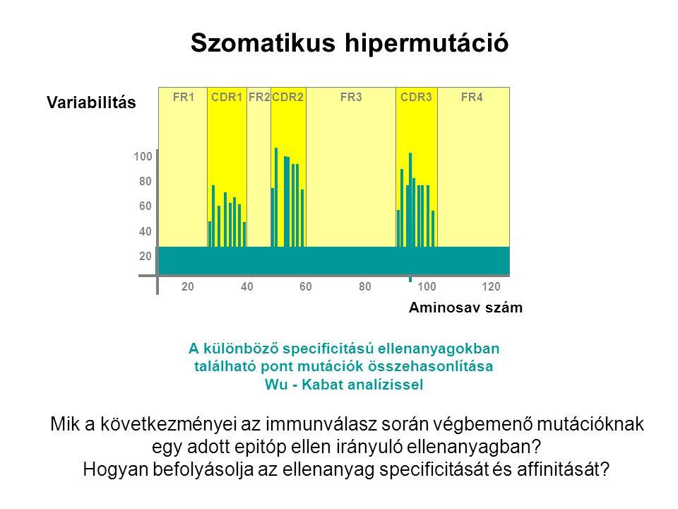 Szomatikus hipermutáció FR1FR2FR3FR4CDR2CDR3CDR1 Aminosav szám Variabilitás 80 100 60 40 20 406080100120 A különböző specificitású ellenanyagokban található pont mutációk összehasonlítása Wu - Kabat analízissel Mik a következményei az immunválasz során végbemenő mutációknak egy adott epitóp ellen irányuló ellenanyagban.