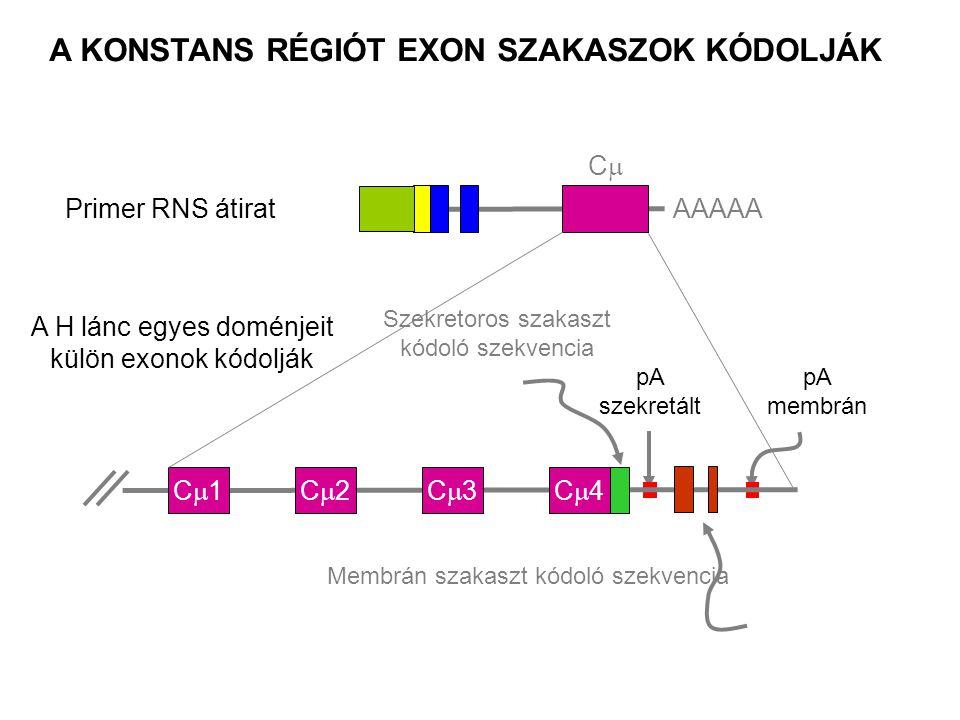 Primer RNS átiratAAAAA CC pA szekretált pA membrán A KONSTANS RÉGIÓT EXON SZAKASZOK KÓDOLJÁK C1C1C2C2C3C3C4C4 A H lánc egyes doménjeit külön exonok kódolják Szekretoros szakaszt kódoló szekvencia Membrán szakaszt kódoló szekvencia