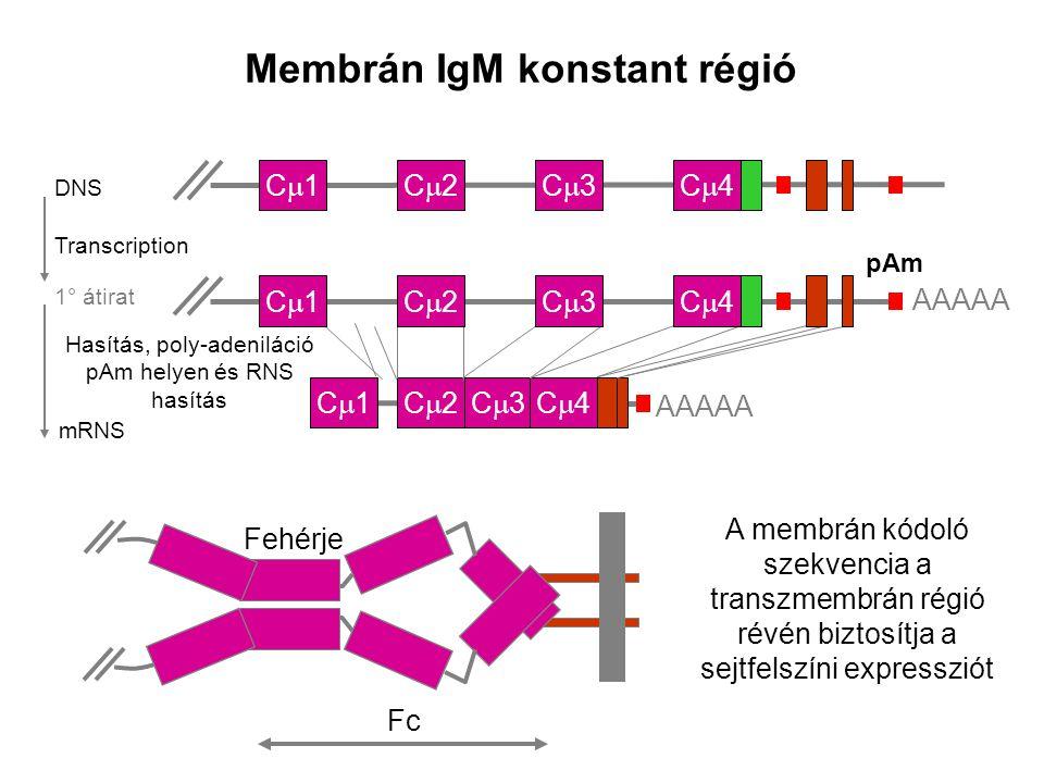 mRNS C1C1C2C2C3C3C4C4 AAAAA Transcription Membrán IgM konstant régió C1C1C2C2C3C3C4C4 1° átirat pAm AAAAA C1C1C2C2C3C3C4C4 DNS A membrán kódoló szekvencia a transzmembrán régió révén biztosítja a sejtfelszíni expressziót Fc Fehérje Hasítás, poly-adeniláció pAm helyen és RNS hasítás