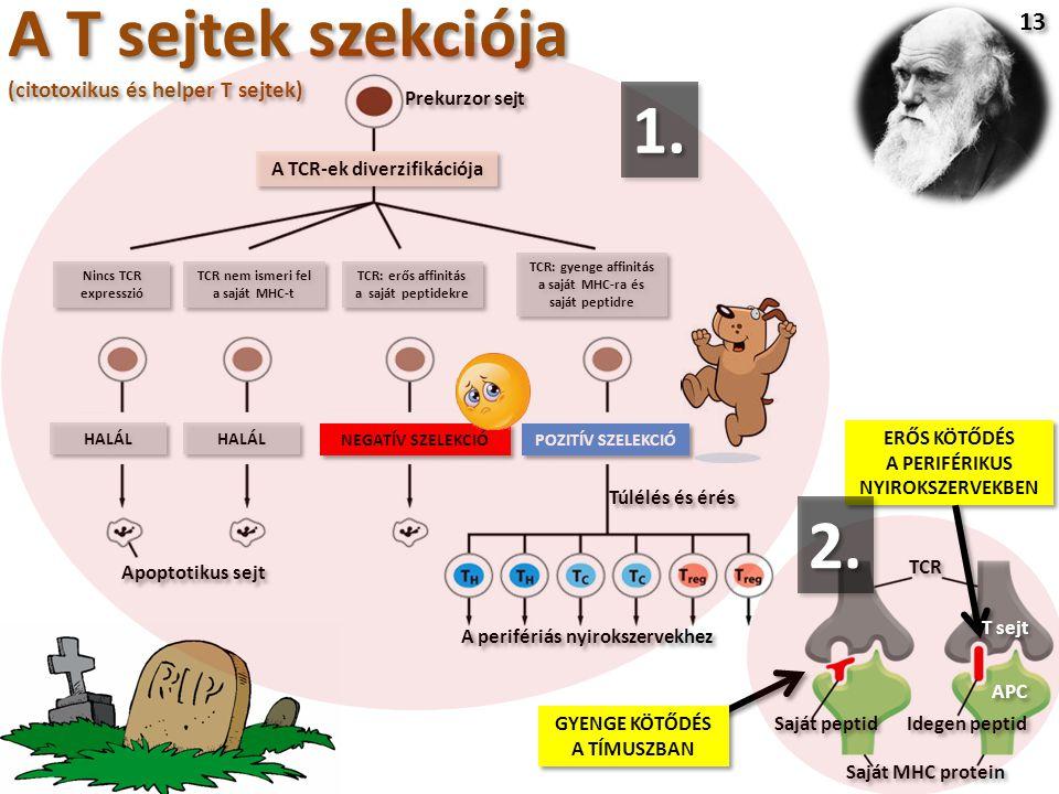 A T sejtek szekciója (citotoxikus és helper T sejtek) 13 Prekurzor sejt A TCR-ek diverzifikációja Nincs TCR expresszió TCR nem ismeri fel a saját MHC-t TCR: erős affinitás a saját peptidekre HALÁL NEGATÍV SZELEKCIÓ POZITÍV SZELEKCIÓ Apoptotikus sejt A perifériás nyirokszervekhez Túlélés és érés TCR: gyenge affinitás a saját MHC-ra és saját peptidre TCR Saját peptid Idegen peptid Saját MHC protein GYENGE KÖTŐDÉS A TÍMUSZBAN GYENGE KÖTŐDÉS A TÍMUSZBAN ERŐS KÖTŐDÉS A PERIFÉRIKUS NYIROKSZERVEKBEN ERŐS KÖTŐDÉS A PERIFÉRIKUS NYIROKSZERVEKBEN APC T sejt 1.