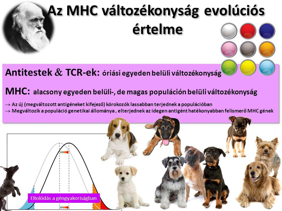 Az MHC változékonyság evolúciós értelme Az MHC változékonyság evolúciós értelme Antitestek  TCR-ek: óriási egyeden belüli változékonyság MHC: alacsony egyeden belüli-, de magas populáción belüli változékonyság  Az új (megváltozott antigéneket kifejező) kórokozók lassabban terjednek a populációban  Megváltozik a populáció genetikai állománya, elterjednek az idegen antigént hatékonyabban felismerő MHC gének Antitestek  TCR-ek: óriási egyeden belüli változékonyság MHC: alacsony egyeden belüli-, de magas populáción belüli változékonyság  Az új (megváltozott antigéneket kifejező) kórokozók lassabban terjednek a populációban  Megváltozik a populáció genetikai állománya, elterjednek az idegen antigént hatékonyabban felismerő MHC gének Eltolódás a géngyakoriságban