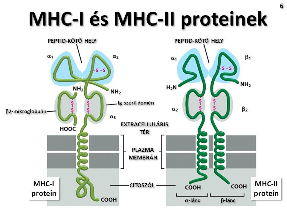 MHC-I és MHC-II proteinek 6 6 PEPTID-KÖTŐ HELY EXTRACELLULÁRIS TÉR CITOSZÓL PLAZMA MEMBRÁN PLAZMA MEMBRÁN  2-mikroglobulin Ig-szerű domén  -lánc  -lánc MHC-I protein MHC-I protein MHC-II protein MHC-II protein