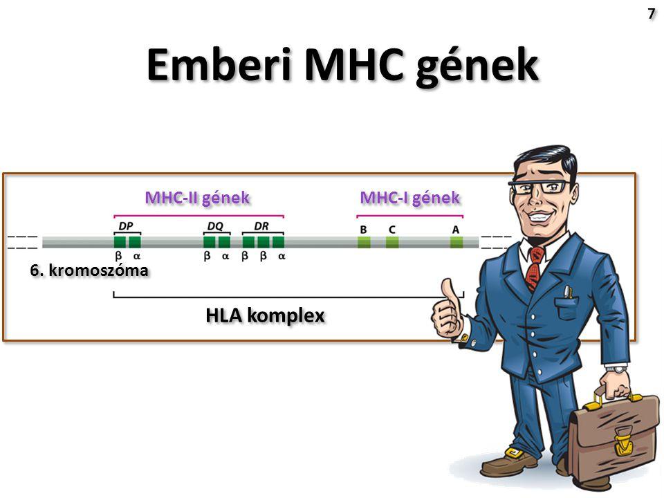 Emberi MHC gének 7 7 HLA komplex 6. kromoszóma MHC-II gének MHC-I gének