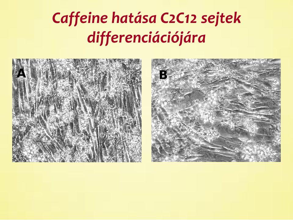 Caffeine hatása C2C12 sejtek differenciációjára