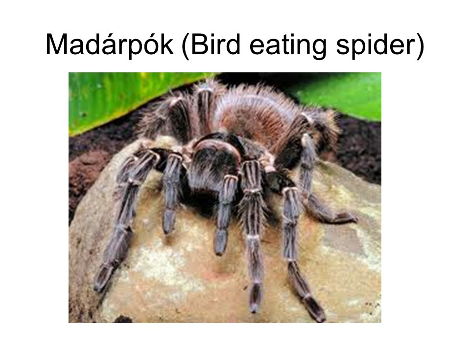 Madárpók (Bird eating spider)