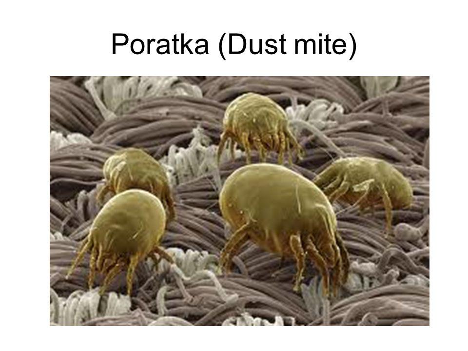 Poratka (Dust mite)