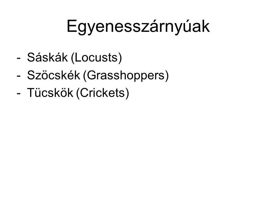 Egyenesszárnyúak -Sáskák (Locusts) -Szöcskék (Grasshoppers) -Tücskök (Crickets)