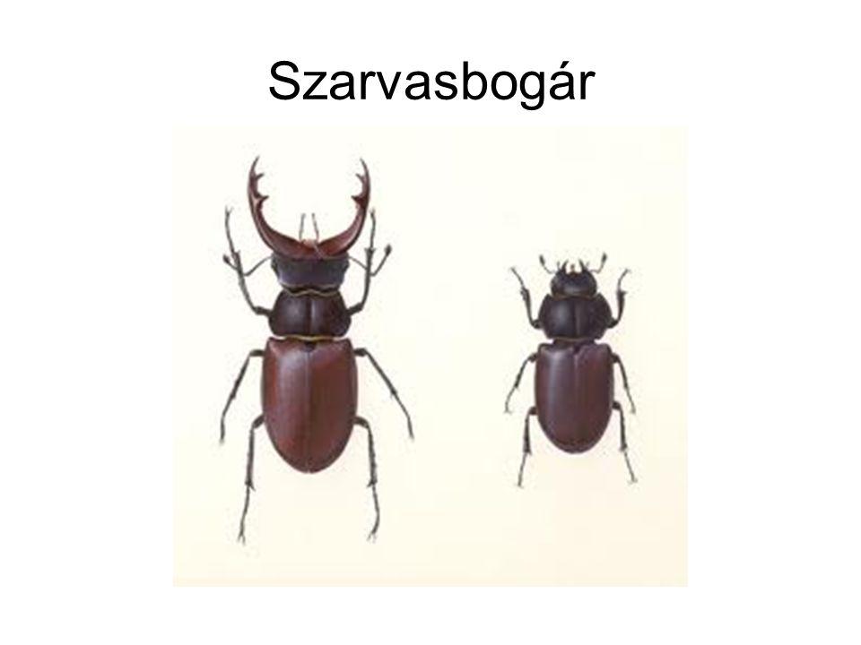 Szarvasbogár