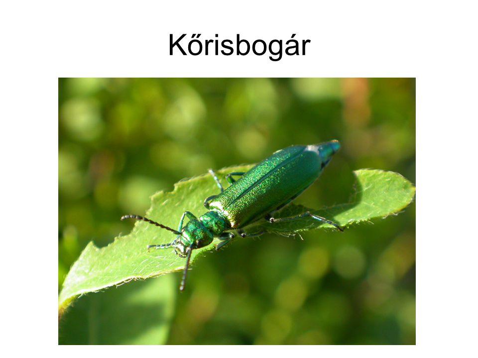 Kőrisbogár