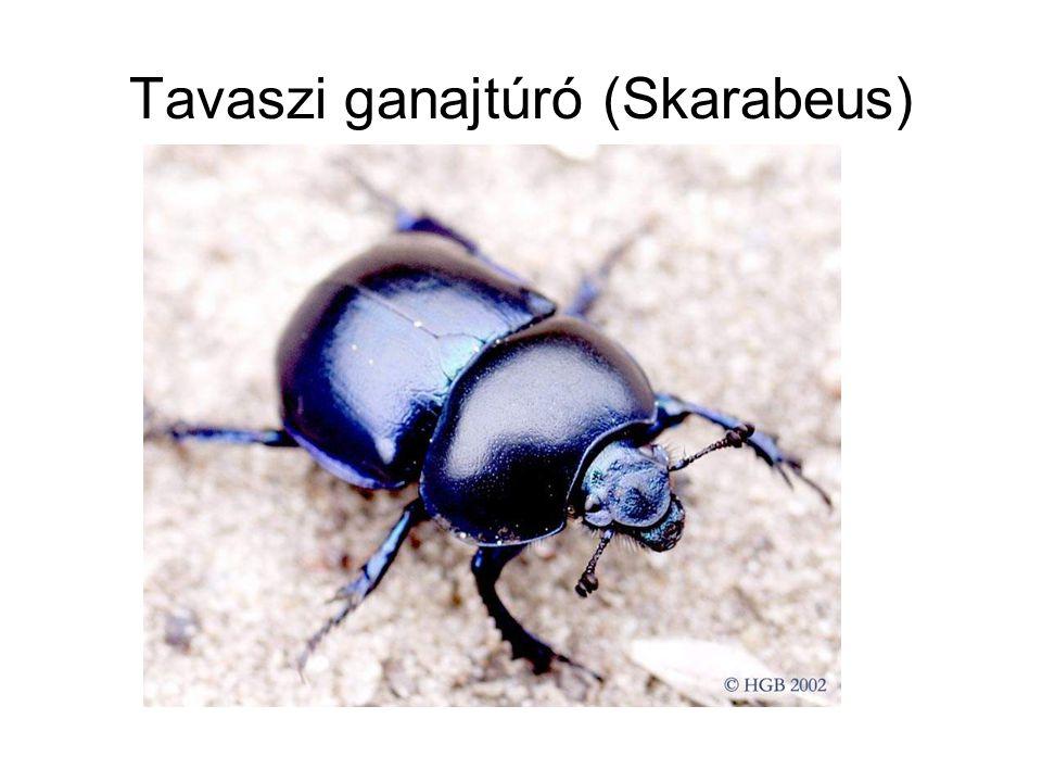 Tavaszi ganajtúró (Skarabeus)
