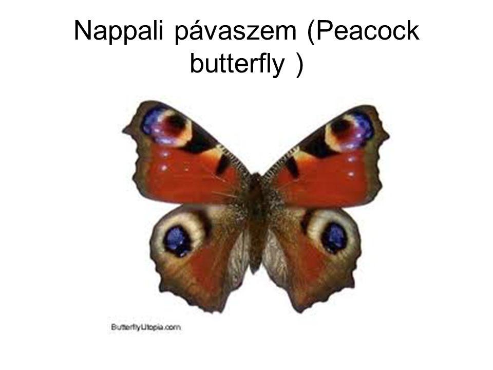 Nappali pávaszem (Peacock butterfly )