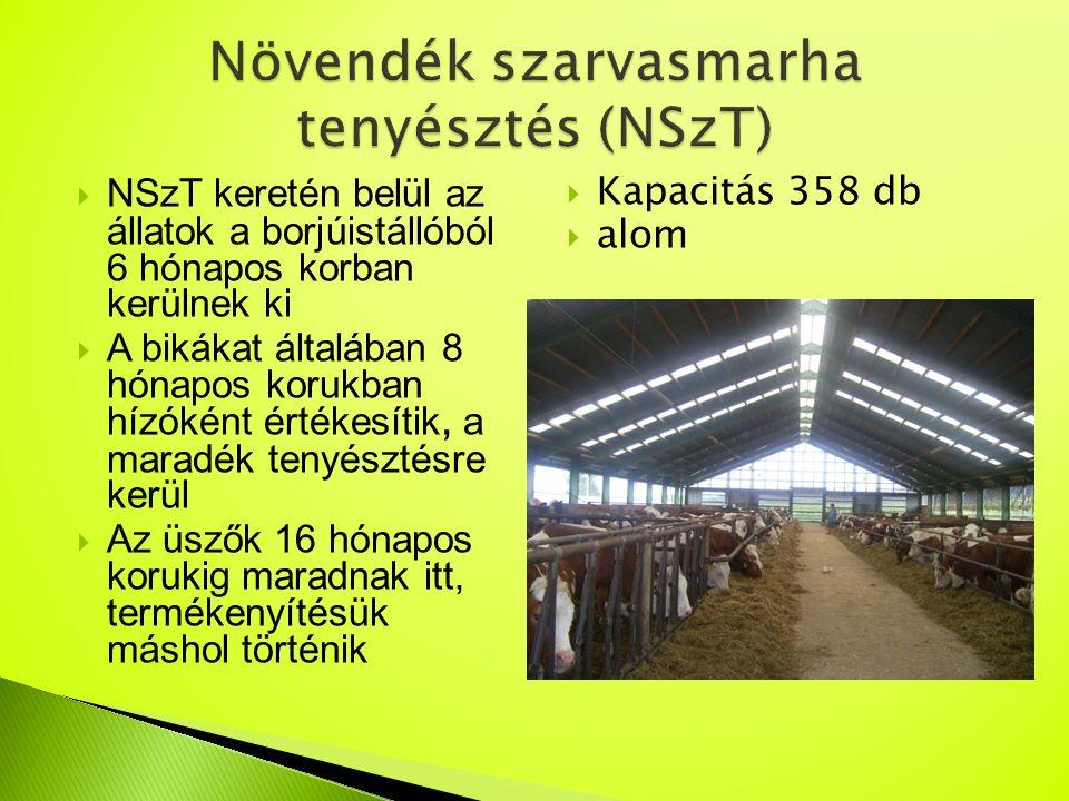  NSzT keretén belül az állatok a borjúistállóból 6 hónapos korban kerülnek ki  A bikákat általában 8 hónapos korukban hízóként értékesítik, a maradé