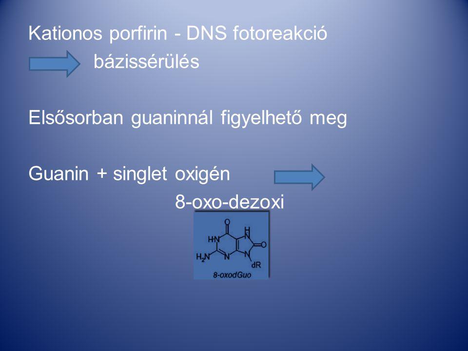 Kationos porfirin - DNS fotoreakció bázissérülés Elsősorban guaninnál figyelhető meg Guanin + singlet oxigén 8-oxo-dezoxi