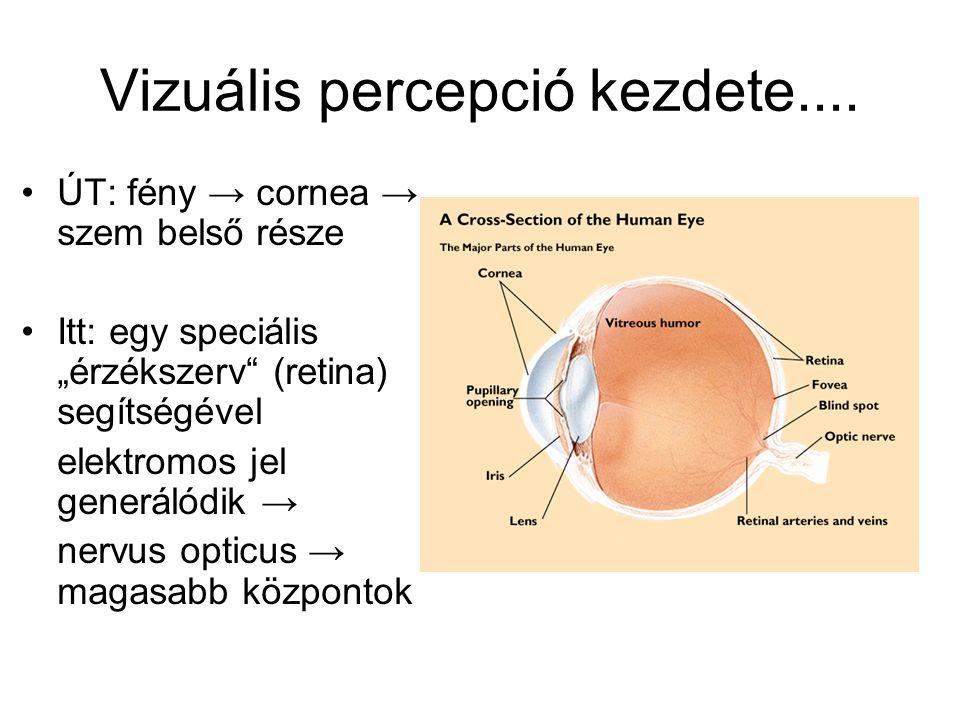"""Vizuális percepció kezdete.... ÚT: fény → cornea → szem belső része Itt: egy speciális """"érzékszerv"""" (retina) segítségével elektromos jel generálódik →"""