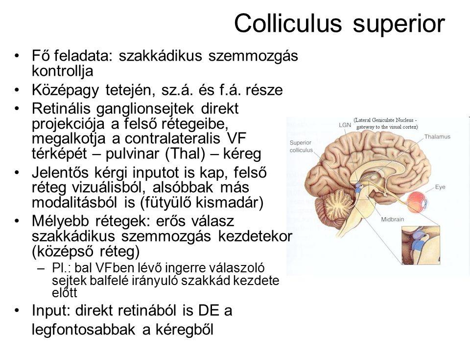 Colliculus superior Fő feladata: szakkádikus szemmozgás kontrollja Középagy tetején, sz.á. és f.á. része Retinális ganglionsejtek direkt projekciója a