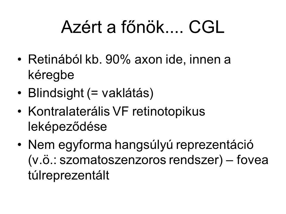 Azért a főnök.... CGL Retinából kb. 90% axon ide, innen a kéregbe Blindsight (= vaklátás) Kontralaterális VF retinotopikus leképeződése Nem egyforma h
