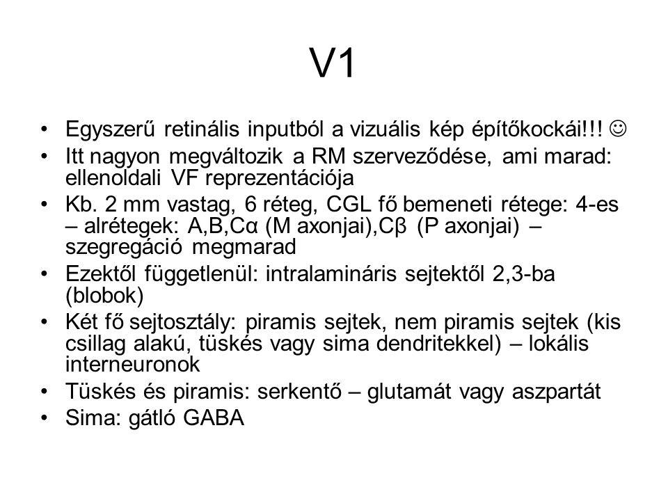 V1 Egyszerű retinális inputból a vizuális kép építőkockái!!! Itt nagyon megváltozik a RM szerveződése, ami marad: ellenoldali VF reprezentációja Kb. 2