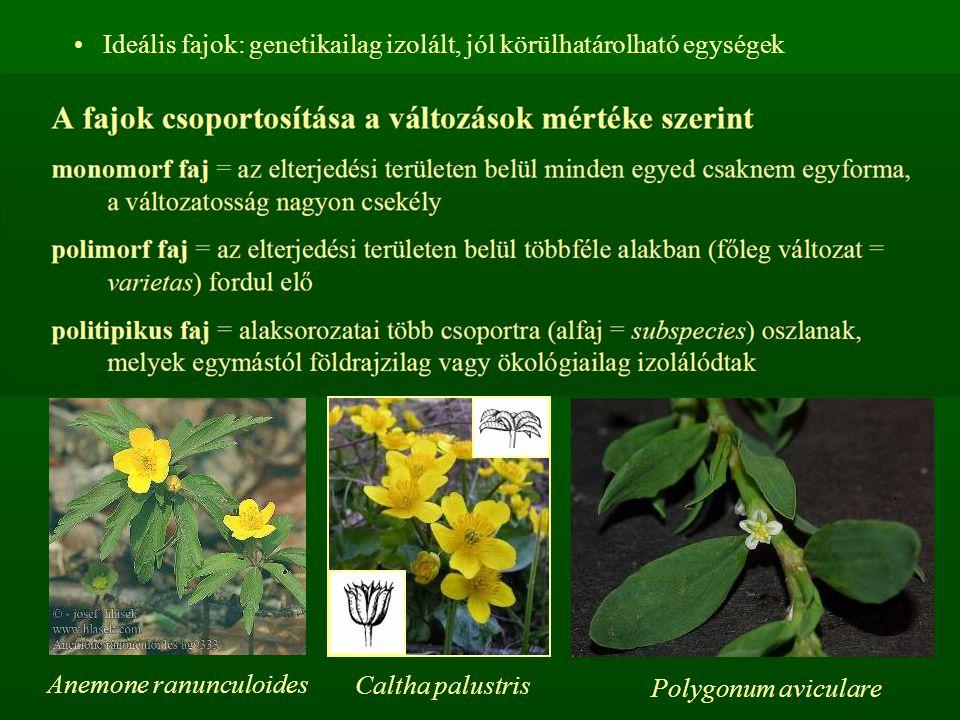 Ideális fajok: genetikailag izolált, jól körülhatárolható egységek Anemone ranunculoides Caltha palustris Polygonum aviculare