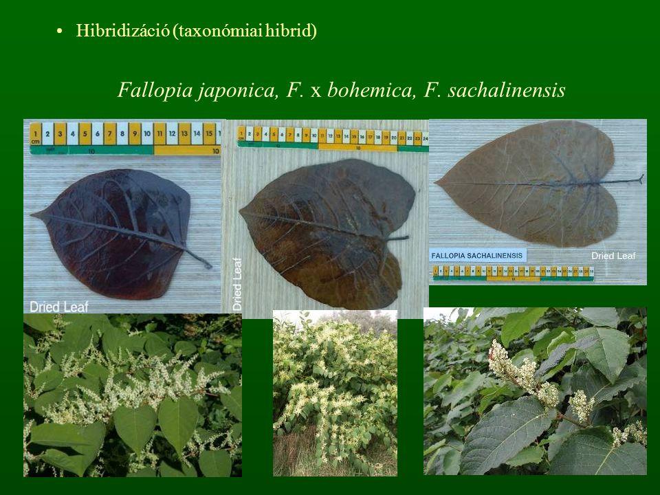 Hibridizáció (taxonómiai hibrid) Fallopia japonica, F. x bohemica, F. sachalinensis
