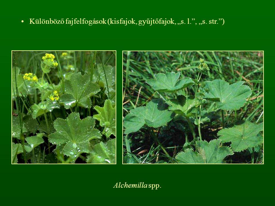 "Különböző fajfelfogások (kisfajok, gyűjtőfajok, ""s. l."", ""s. str."") Alchemilla spp."