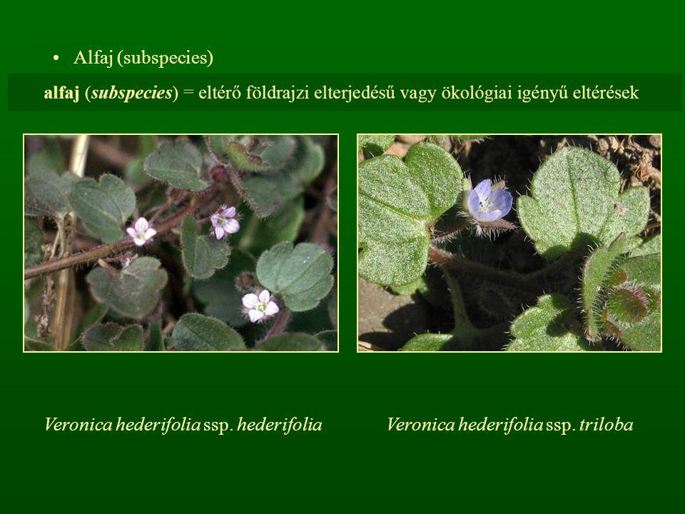 Alfaj (subspecies) Veronica hederifolia ssp. hederifoliaVeronica hederifolia ssp. triloba