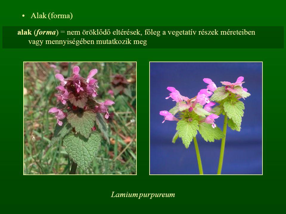 Alak (forma) Lamium purpureum