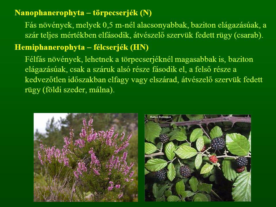 Nanophanerophyta – törpecserjék (N) Fás növények, melyek 0,5 m-nél alacsonyabbak, baziton elágazásúak, a szár teljes mértékben elfásodik, átvészelő sz