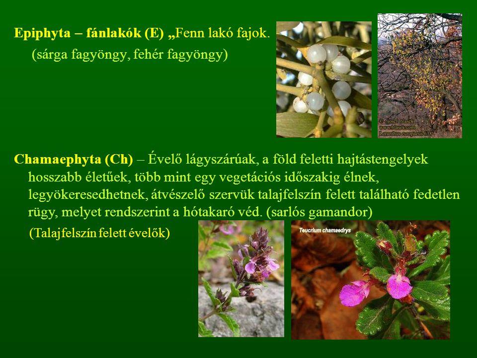 """Epiphyta – fánlakók (E) """"Fenn lakó fajok. (sárga fagyöngy, fehér fagyöngy) Chamaephyta (Ch) – Évelő lágyszárúak, a föld feletti hajtástengelyek hossza"""
