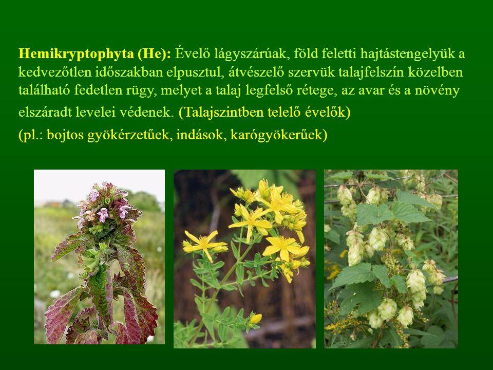 Hemikryptophyta (He): Évelő lágyszárúak, föld feletti hajtástengelyük a kedvezőtlen időszakban elpusztul, átvészelő szervük talajfelszín közelben talá