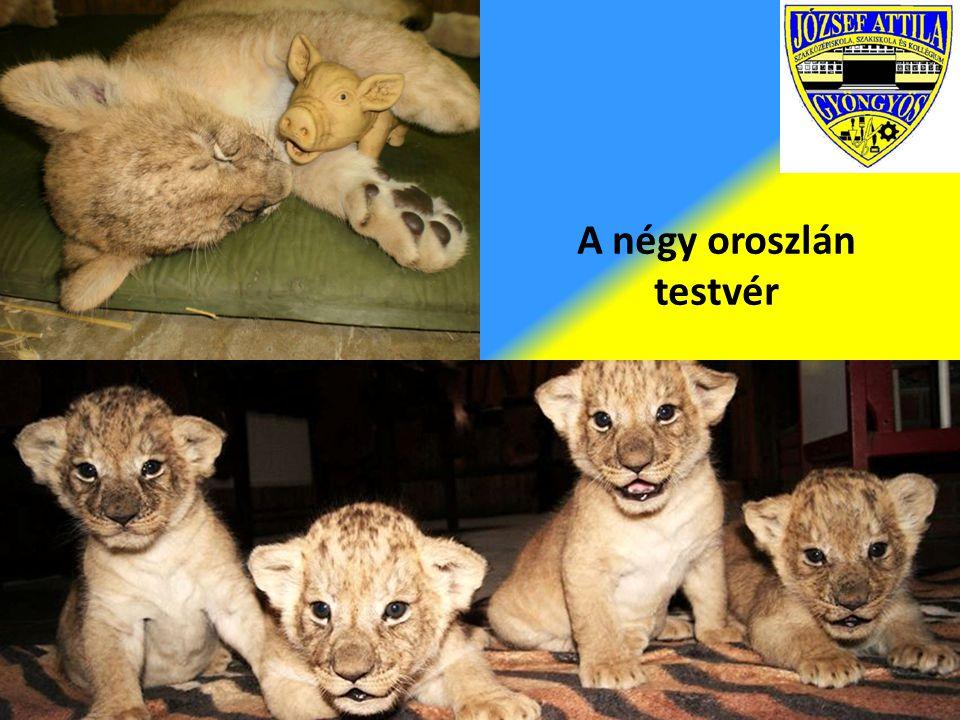 A négy oroszlán testvér