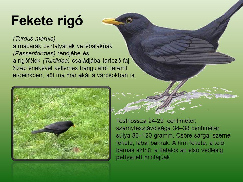 Fekete rigó (Turdus merula) a madarak osztályának verébalakúak (Passeriformes) rendjébe és a rigófélék (Turdidae) családjába tartozó faj. Szép énekéve